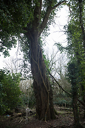 Denham, UK. 4 February, 2020. An ancient poplar tree in Denham Country Park threatened with imminent destruction by the HS2 high-speed rail link. Planned works in the immediate area are believed to include the felling of 200 trees and the construction of a roadway, Bailey bridge, compounds, fencing and a parking area.