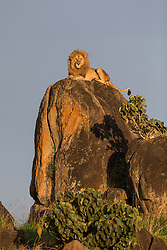 """In 2014 I visited Kidepo Valley National Park, a remote reserve in the North of Uganda that borders South Sudan and Kenya. I hadn't been in the Valley long when I met the resident male lion, a handsome chap known as """"Spartacus"""". It was late in the afternoon and the light was beautiful, but he was lying down in long grass and I couldn't get a clear shot. Over to my right was a beautiful kopje (a small hill) and I daydreamed of the incredible shot I could get if he were on top of it. Well, he must have heard my thoughts because the next thing I knew, he was up and heading in that direction. I willed him to keep going and I was pinching myself as he started to climb. He sat himself down exactly where I had hoped and then looked at me with his regal gaze. I couldn't believe my luck! It is so rare that a wild animal actually does what you want it to! In front of me was a scene straight out of the Lion King…<br /> <br /> <br /> BIO: Will Burrard-Lucas is a British wildlife photographer. In 2009, he created the BeetleCam, a remote-control camera buggy that enables him to take close-up photographs of wildlife. He later created a high- quality camera trap system for photographing rare and nocturnal animals and is the founder of Camtraptions, a company specializing in products for remote and camera trap photography.<br /> <br /> An advocate for wildlife conservation, Burrard-Lucas works with various conservation non-governmental organizations including the World Wildlife Fund, African Parks, the Tsavo Trust in Kenya, and the Ethiopian Wolf Conservation Programme.  <br /> <br /> Burrard-Lucas' images of a black leopard in Kenya made headlines around the world in 2019 when they accompanied the first scientifically documented sighting of the rare animal in Kenya in over 100 years. A book based on his experience, The Black Leopard, My Quest to Photograph One of Africa's Most Elusive Animals, will be published in Spring 2021.<br /> <br /> WEBSITE: willbl.com<br /> CAPTIONS: @willb"""