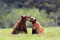"""When bears sing opera"" -- Grizzly bears in the Khutzeymateen Grizzly Bear Sanctuary in the Great Bear Rainforest, British Columbia, Canada"