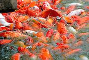 Koi fish in feeding frenzy.