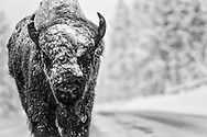 """Lonesome snow covered rugged Bison takes a stroll in the wildly iconic Yellowstone National Park. If """"eye contact is how souls catch on fire, my soul certainly lit on fire when we made eye contact! One could live and die a thousand times in this moment. Nothing was said. And yet, so much was said."""