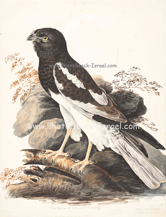 The pied harrier (Circus melanoleucos) is an Asian species of bird of prey in the family Accipitridae. It is migratory, breeding from the Amur valley in eastern Russia and north-eastern China to North Korea. Wintering individuals can be found in a wide area from Pakistan to Philippines. The population consists of approximately 10,000 individuals and the number is thought to be in moderate decline.This medium-sized harrier (length 45 cm/18in, wing span 115 cm/46in) nests in steppes and associated wetlands. Wintering individuals are often seen hunting above rice paddies and marshes. 18th century watercolor painting by Elizabeth Gwillim. Lady Elizabeth Symonds Gwillim (21 April 1763 – 21 December 1807) was an artist married to Sir Henry Gwillim, Puisne Judge at the Madras high court until 1808. Lady Gwillim painted a series of about 200 watercolours of Indian birds. Produced about 20 years before John James Audubon, her work has been acclaimed for its accuracy and natural postures as they were drawn from observations of the birds in life. She also painted fishes and flowers. McGill University Library and Archives