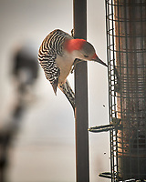 Female Red-bellied Woodpecker. Image taken with a Nikon D5 camera and 600 mm f/4 VRII lens (ISO 1000, 600 mm, f/4, 1/1250 sec)