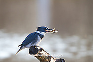 01186-00910 Belted Kingfisher (Ceryle alcyon) male with fish at wetland, Marion Co., IL