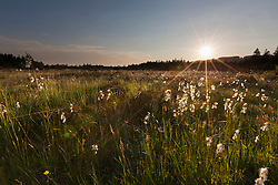 Cotton grass growing in field (Eriophorum angustifolium) during sunset, Bavaria, Germany