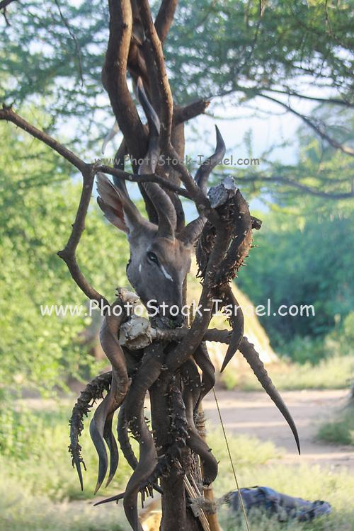 Hunted animal skulls and horns on display at a Hadzabe village. Photographed at Lake Eyasi, Tanzania