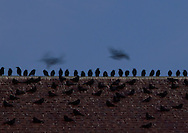 Middletown, New York - Crows (Corvus brachyrhynchos) perch on a church roof in downtown Middletown on the evening of Feb. 2, 2012. The crows flying above the building are blurred in the long exposure. White droppings from the crows are visible at the top of the roof.