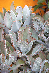Kalanchoe beharensis 'Fang' AGM - Feltbush - in front of an orange painted wall