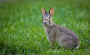 Common rabbit