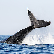 Humpback whale (Megaptera novaeangliae) executing a powerful tail slap, sending water flying in all directions.