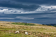 Color photograph of sheep grazing on the high fells of The English Lake District National Park under a dramatic sky of steel grey contrasted by white clouds