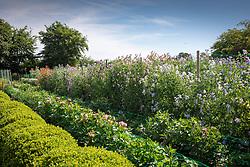 Lines of sweet peas -  Lathyrus odoratus.