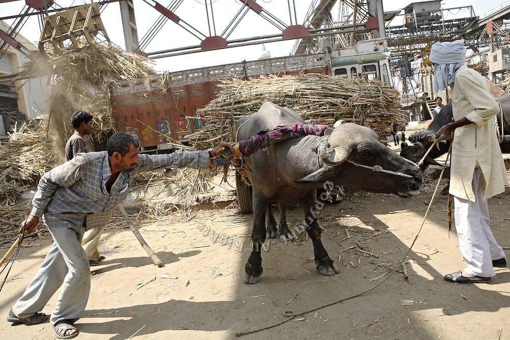 Farmers are delivering a load of sugarcane from their buffalo-cart inside the Daurala Sugar Works industrial complex, near Daurala village, Meerut District, Uttar Pradesh, India, on Monday, Apr. 14, 2008. Sugarcane-related manufactories, like sugar mills and distilleries rank between the 17 most polluting industries by the Indian Ministry of Environment and Forests and special conditions apply to the release of their wastewaters back into the environment. If Daurala Sugar Works, whose drain reaches the Kali river (East), have implemented a fairly efficient Effluent Treatment Plant, many in the sugarcane-rich area have not, and keep releasing contaminated water into nearby rivers. Even if levels of pollutants are believed to be largely reduced at the Complex, the Kali river (East) cannot absorb any more amount of wastewaters and its situation remains critically unhealthy.
