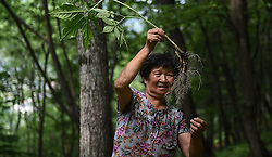 A villager looks over woods-grown ginsengs at Qiupi Village in Ji'an, northeast China's Jilin Province, June 10, 2015. China has a long history of cultivating ginseng, which is considered to be nutritious and to have medicinal value in traditional Chinese medicine. Considered as the world's largest ginseng production area, Jilin produces about 85 percent of China's total ginseng output and 70 percent of the world's output. More than 98 percent of ginseng in Jilin is currently cultivated, not grown in the wild. EXPA Pictures © 2015, PhotoCredit: EXPA/ Photoshot/ Wang Haofei<br /> <br /> *****ATTENTION - for AUT, SLO, CRO, SRB, BIH, MAZ only*****