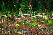 Celebrity planted banyan tree (Princess Kawananakoa) on Banyan Drive, Hilo, The Big Island, Hawaii USA