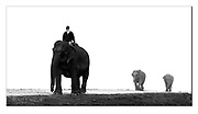 The mahoot leads domesticated Indian elephants in Kaziranga National Park, India. Nikon D850, 70-200mm @ 92mm, f2.8, 1/80sec, ISO1250, Manual modus. Stack of two images