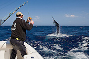 Here are the gladiators of the ocean.  These big game fish are found in the deep blue water of the world's oceans.  They are pursued by anglers for their strong fight and incredible jumps when hooked.
