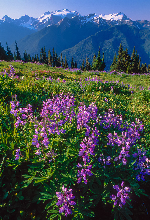 Lupine and Mount Olympus, High Divide, summer, Olympic National Park, Washington, USA