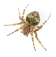 Gibbaranea gibbosa - female. Cryptic in colour and behaviour but is found frequently in southern Britain on trees and bushes. It is by far the commonest two humped orb web spinner.