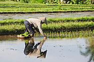 A farmer tends her rice fields in Ubud, Bali, Indonesia.