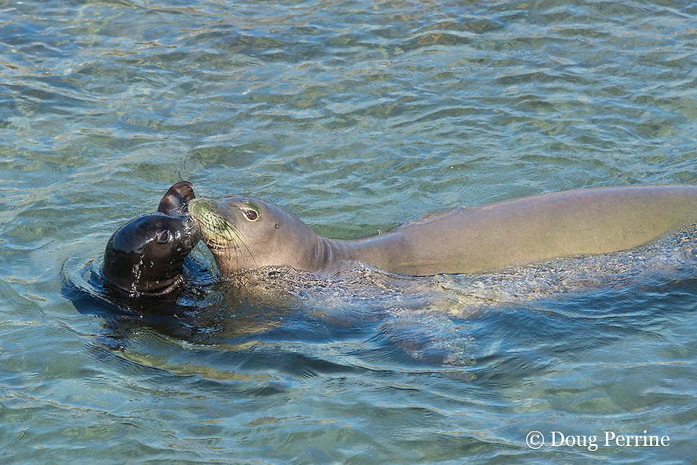 five year old Hawaiian monk seal, Neomonachus schauinslandi or Monachus schauinslandi ( Critically Endangered, endemic species ), greets 33 day old pup with a nuzzle at Keokea Beach Park, Niulii, North Kohala, Hawaii Island ( the Big Island ), Hawaii, U.S.A.