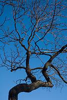Burned desert scrub oak, Quercus turbinella. Red Rock Canyon National Conservation Area, Nevada