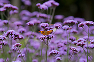 A Comma butterfly on Verbena bonariensis Banbury, Oxfordshire, UK