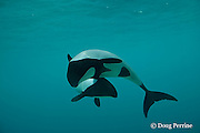 Commerson's dolphins, Cephalorhynchus commersonii , native to southern South America