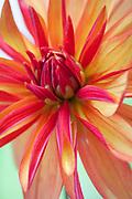 Dahlia 'Jescot Julie' - double orchid dahlia