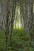 Birch Tree Grove, British Columbia - Canada