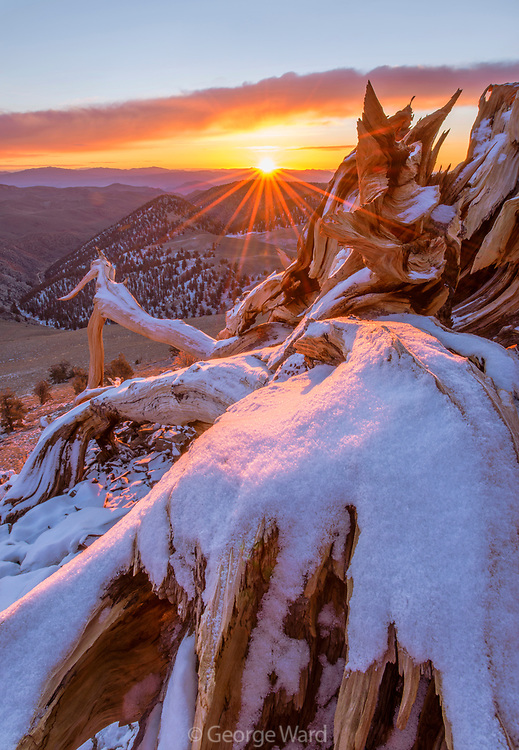 Snow-covered Ancient Bristlecone Pine Snag and Rising Sun, The White Mountain, sInyo National Forest, California
