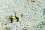 Yellowhead Jawfish (Opistognathus aurifrons)<br /> BONAIRE, Netherlands Antilles, Caribbean<br /> HABITAT & DISTRIBUTION: Sand and Coral rubble near reefs.<br /> Florida, Bahamas, Caribbean and northwest Gulf of Mexico.