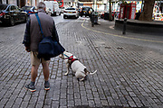 Held on a lead by its owner, a large Bulldog pees in the street in Knightsbridge, on 24th August 2020, in London, England.