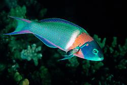 saddle wrasse, terminal male color phase, Thalassoma duperrey, endemic species, Kona, Big Island, Hawaii, Pacific Ocean