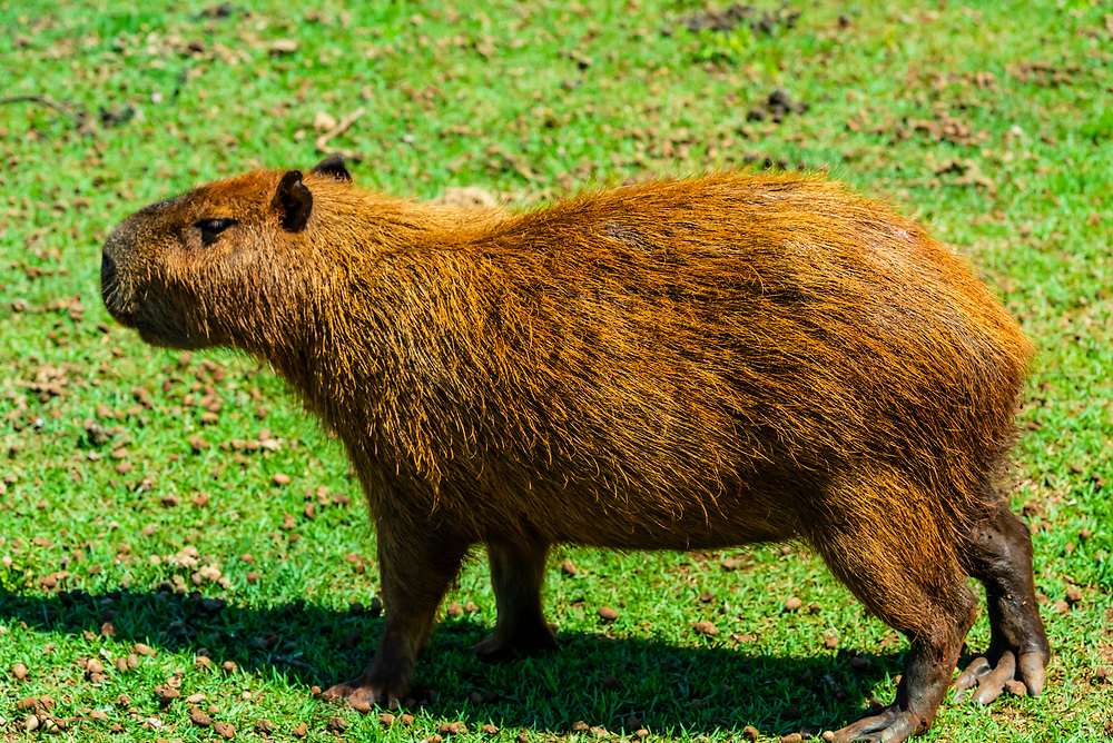 A capybara, a semiquatic mammal, a giant cavy rodent native to South America. It is the largest rodent in the world. Foz do Igaucu, Brazil.