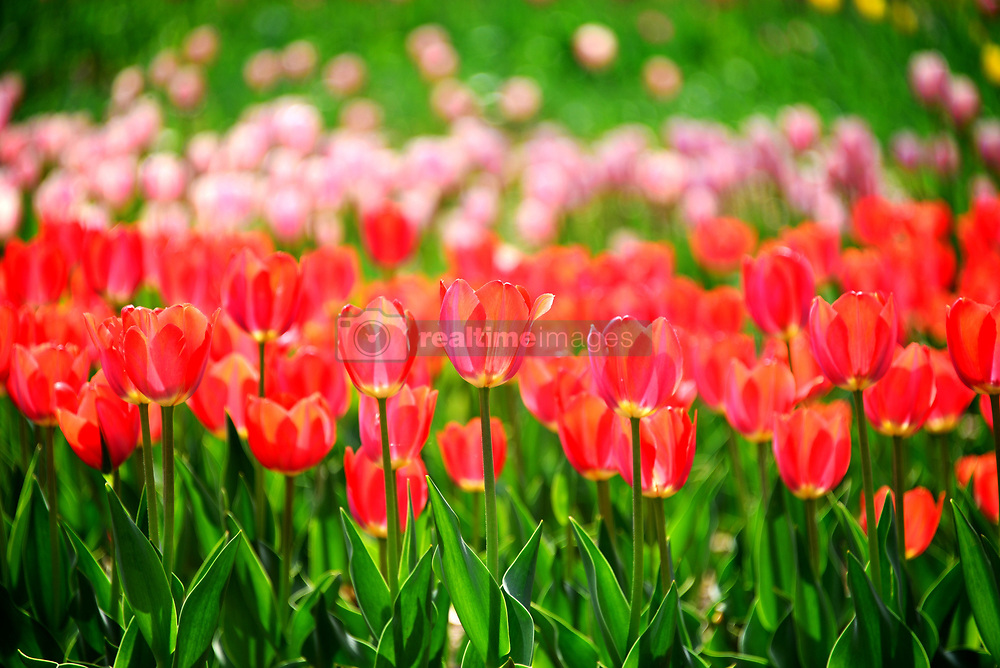 April 26, 2018 - China - Tulip flowers bloom at Beijing Botanical Garden. (Credit Image: © SIPA Asia via ZUMA Wire)