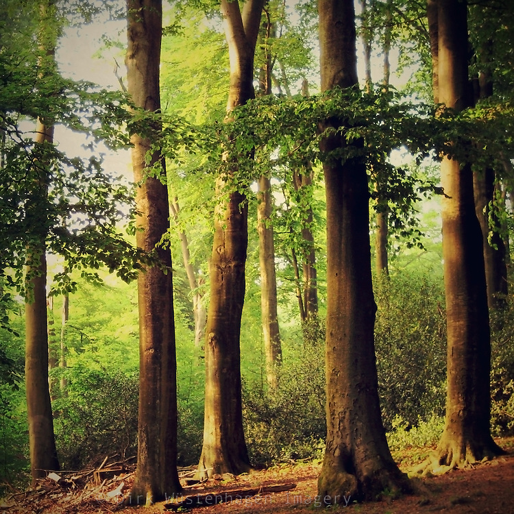 Beech trees in late afternoon light in summer. Processed with some of my textures.