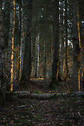 Fallen dead wood across the path in forest with slight touch of sunset, Latvia Ⓒ Davis Ulands | davisulands.com