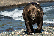 The alpha Grizzly bear boar known as Chops fishing in the upper McNeil River falls at the McNeil River State Game Sanctuary on the Kenai Peninsula, Alaska. The remote site is accessed only with a special permit and is the world's largest seasonal population of brown bears.