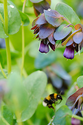 Grote wasbloem, Cerinthe major 'Purpurascens'