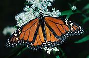 Monarch butterfly, Norfork Lake, Arkansas