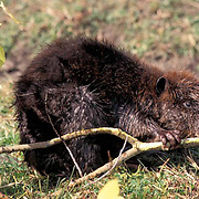 Beaver, (Castor canadensis)  Eating aspens Rocky mountains. Montana.  Captive Animal.