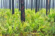 Saw Palmetto in Ponderosa Pine Forest, Ocala, Florida