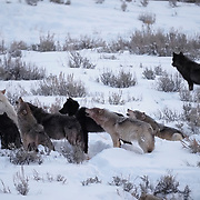 Gray wolf (Canis lupus) Wapiti pack howling. Blacktail Plateau.,Yellowstone National Park, Wyoming