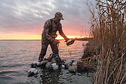 Picking up decoys after an evening hunt