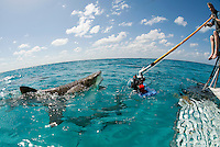 """A photographer uses a custom rigged """"pole cam"""" to capture images of a breaching lemon shark."""