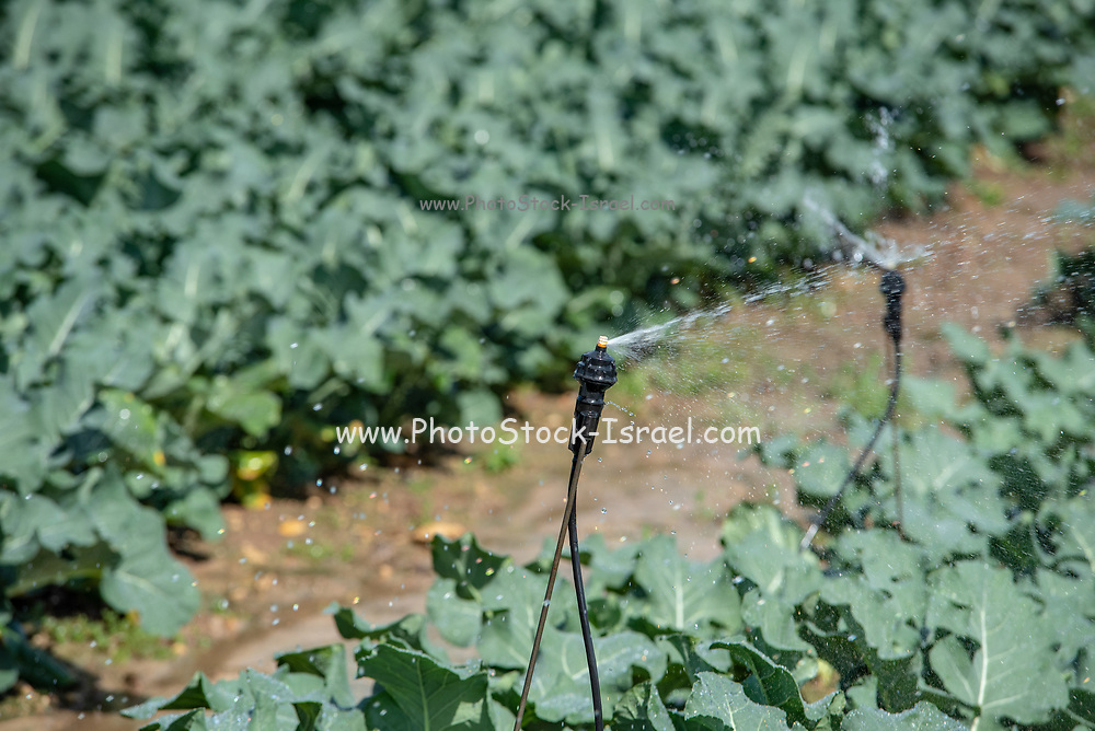 Irrigation of Cauliflower (Brassica oleracea) plants growing in an Agricultural field. Photographed in Israel in spring, April