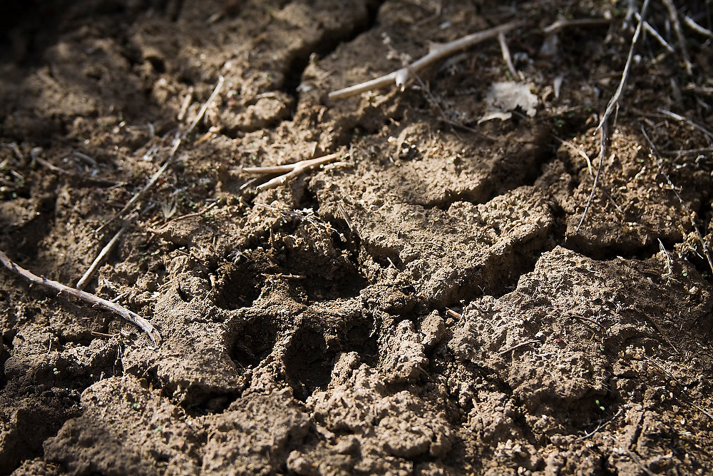 A small mammal track in the mud at McCarran Ranch, near Reno, Nevada. The ranch is one of three properties so far being restored in a $20 million effort by the Nature Conservancy to revitalize the Lower Truckee River ecosystem.
