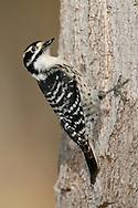 Nuttall's Woodpecker -  Picoides nuttallii - female