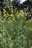 Woad Isatis tinctoria Height to 1m. Upright biennial or perennial of well-drained soils, usually in shady spots. Introduced and formerly used as a source or dye. Leaves are elongate-triangular with basal lobes. Flowers are yellow and 3-5mm across; borne in large, frothy heads, June-August. Widespread but very local.